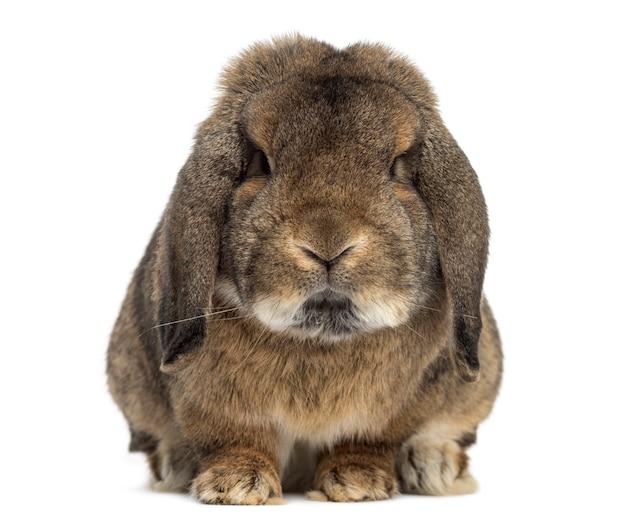 Duitse konijn ram geïsoleerd op een witte ondergrond