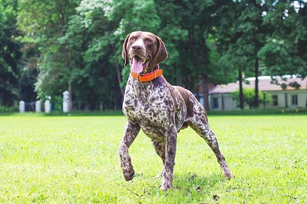 Duitse kortharige hond loopt op het gras gras in het park