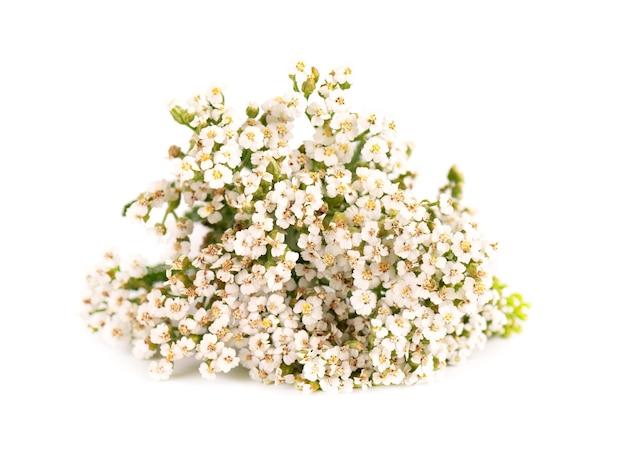Duizendblad of achillea millefolium bloemen, geïsoleerd op een witte achtergrond. medicinale kruidenplant.