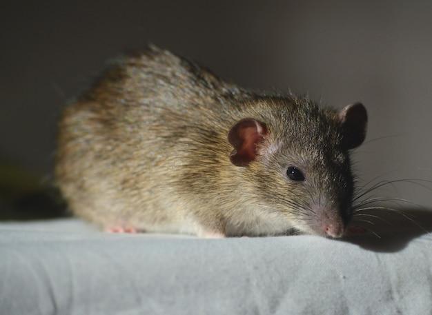 Dumbo agouti rat op wit