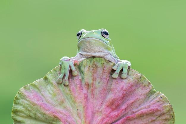 Dumpy kikker op een lotusbloem op een groene achtergrond