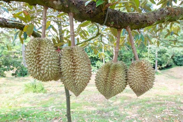 Durian bevindt zich in de rendementsfase. in de fruitboomgaard, chanthaburi province, thailand