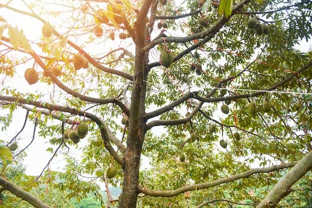 Durian boom met durian fruit opknoping op de boomtak in de tuin boomgaard tropisch zomerfruit wachten op de oogst natuur boerderij op de berg durian in thailand