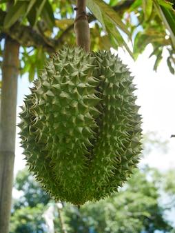 Durian op boom in tropische boomgaard.