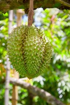 Durian op de boom in de tuin