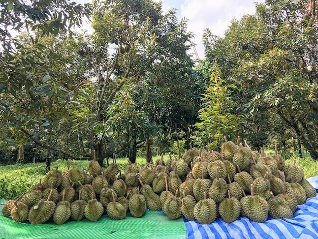 Durian-putten die de tuinders uit de boom kappen voordat ze gesorteerd en vervolgens verkocht worden.