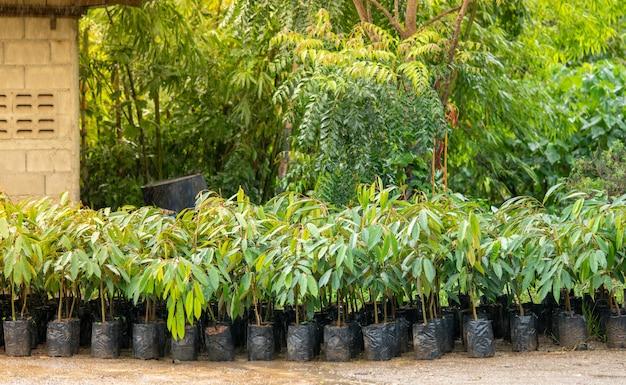 Durian zaailingen van boeren in zuid-thailand worden populair.