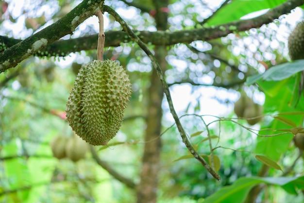 Durianboom, vers durian fruit op boom durians zijn de koning van het fruit