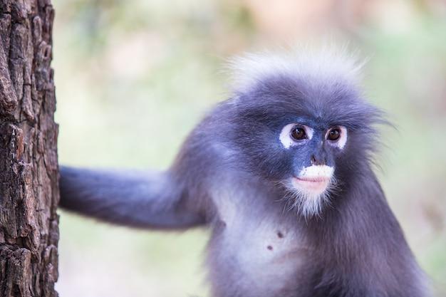 Dusky langur aap close-up