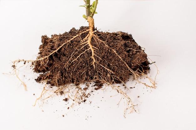 Dwarsdoorsnede van de wortels van een plant, om biologie te onderwijzen.
