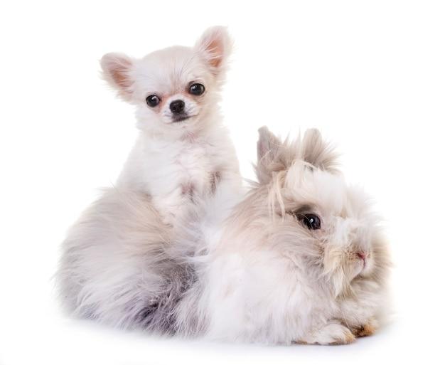 Dwerg konijn en puppy chihuahua