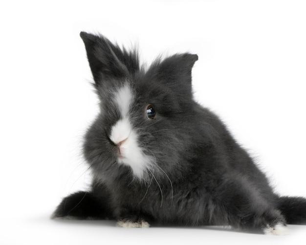 Dwerg konijn geïsoleerd