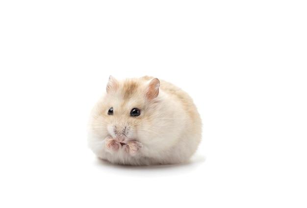 Dwerg pluizige hamster die op witte achtergrond, vooraanzicht wordt geïsoleerd