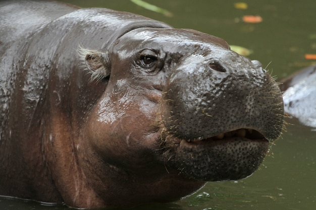 Dwergnijlpaard glimlach op gezicht in water