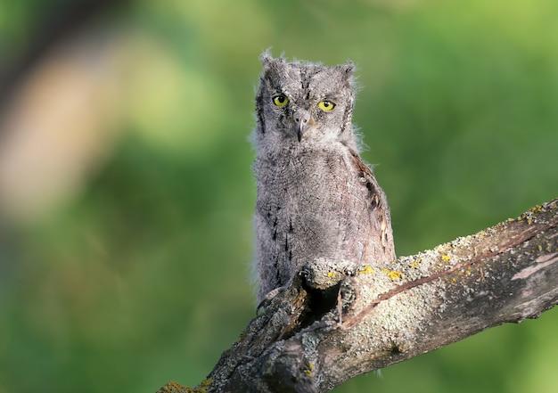 Dwergooruilkuikens worden individueel en samen gefotografeerd. vogels zitten op een droge tak van een boom tegen een wazige achtergrond in de stralen van de zachte avondzon.