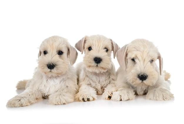 Dwergschnauzer pups voor witte achtergrond