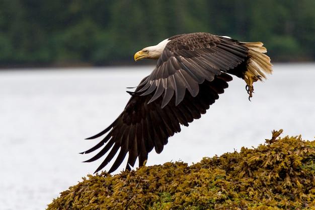 Eagle die bij kust, regionale district skeena-queen charlotte, haida gwaii, brits graham island vliegen