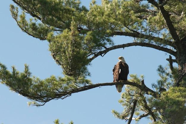 Eagle die op een boom, meer van het hout, ontario, canada neerstrijkt