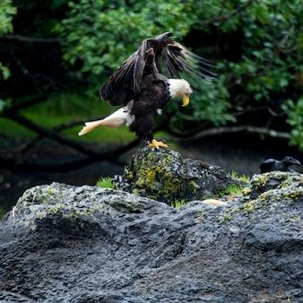 Eagle die op rots, skeena-queen charlotte regional district, haida gwaii, graham island, britis neerstrijken