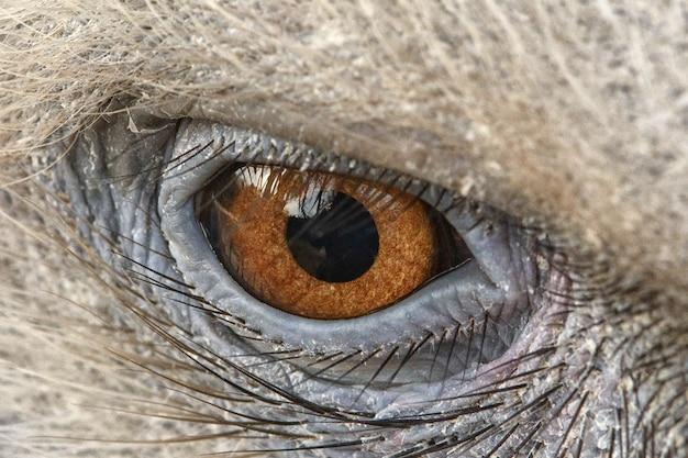 Eagle-ogenclose-up, ogen van een griffon-gier