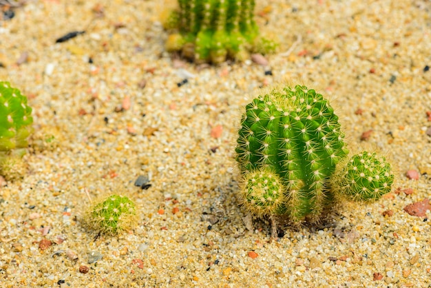 Echinocactus grusonii of goed bekend in golden barrel cactus, golden ball