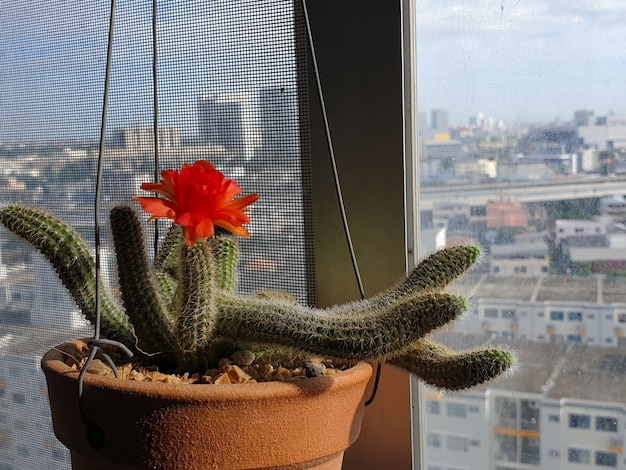 Echinopsis chamaecereus cactus in de pot