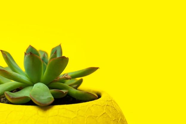 Echiveria in een gele pot op gele achtergrond