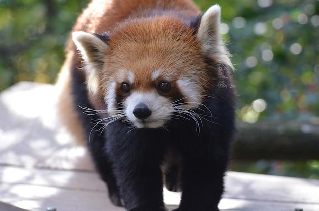 Echt schattig gezicht van een kleine pandabeer.