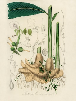 Echte kardemom (matonia cardamomun) illustratie van medical botany (1836)