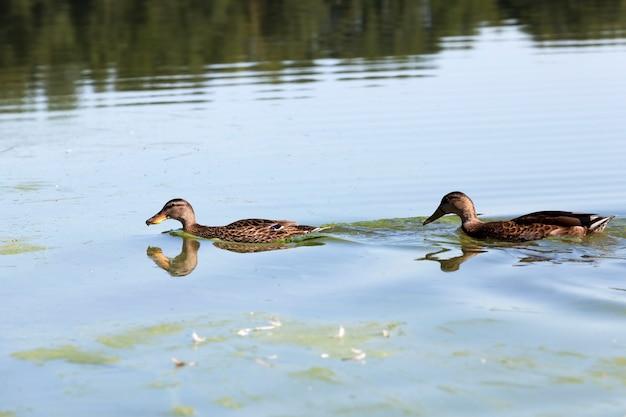 Echte levende eenden in het wild, wilde watervogels eenden in de buurt van hun leefgebied, natuurlijke omgeving voor wilde vogels Premium Foto