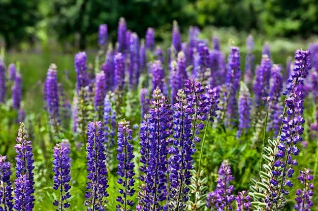 Echte wilde lupine bloeiende blauwe bloemen, veld of weide met gras en bloemen