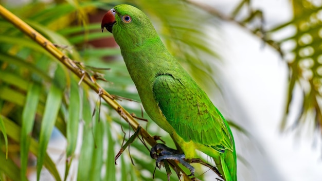 Eclectus papegaai op het eiland. maldiven.