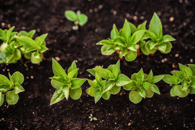 Ecologie. de zaailing groeit uit de rijke grond. jonge planten in kinderdagverblijf plastic dienblad bij plantaardig landbouwbedrijf. close-up bovenaanzicht