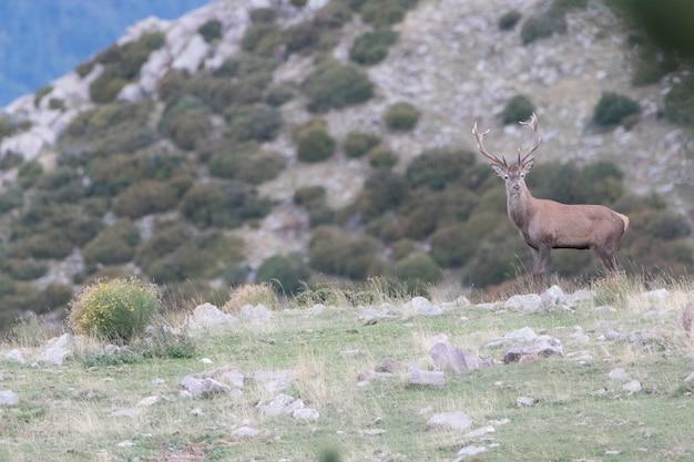 Edelhert cervus elaphus tijdens de bronstperiode wilde dieren in de pyreneeën