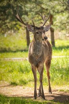 Edelhert met grote gehoornde geweien in het bos. foto op ware grootte. dit dier wordt gewaardeerd om zijn vacht, hoorns en vlees. in dit opzicht trekt het de aandacht van stropers.