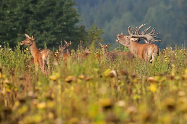 Edelherten in de natuurhabitat tijdens de hertensleur