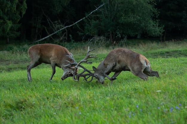 Edelherten op de groene achtergrond tijdens de hertensleur in de natuurhabitat