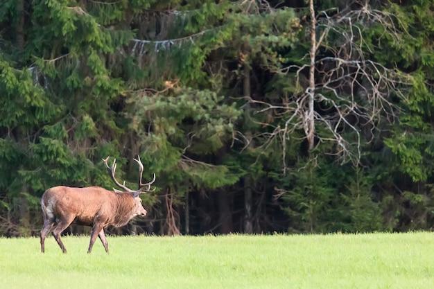Edelhertenmannetje met grote hoornen tegen groen bos.