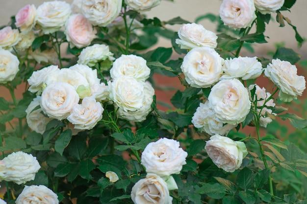 Eden roze bloem. eden roze met natuurlijk groen