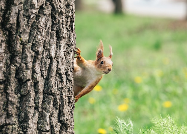 Eekhoorn gluurt uit van achter de boom. eekhoorn hangt hoofd naar beneden. een dier in het park.