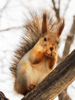 Eekhoorn in de winter kleuren eten op een boomtak