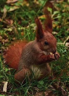 Eekhoorn knaagt aan een noot in een herfstpark.