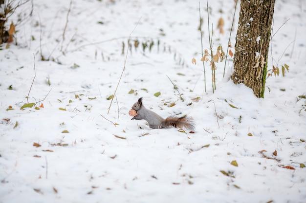 Eekhoorn met cederkegel op sneeuw