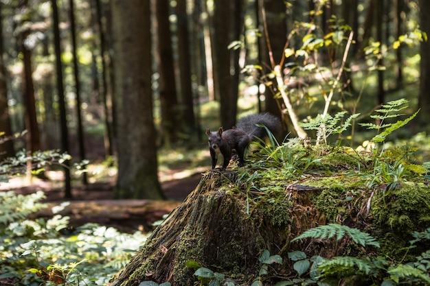 Eekhoorn met pluizige zwarte vacht die noten eet op hennep op een zonnige lentedag