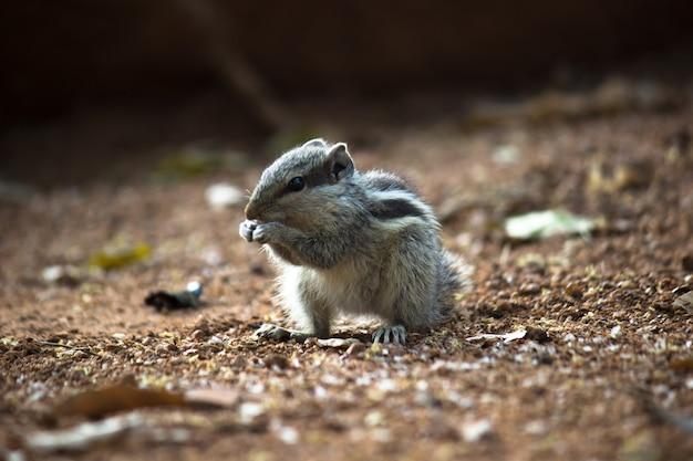Eekhoorn of knaagdier of ook bekend als chipmunk die op de rots staat