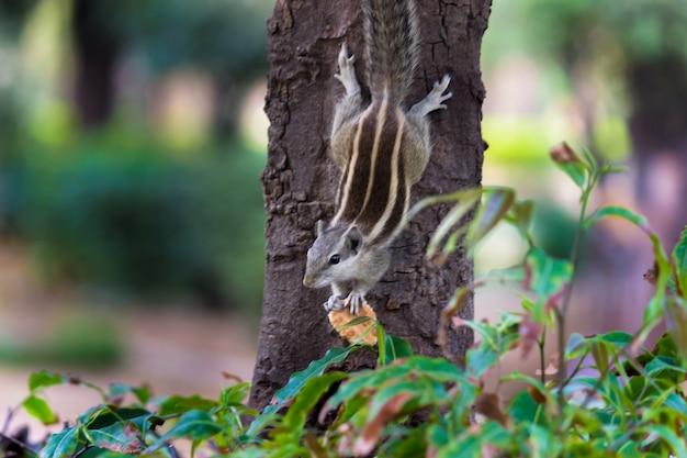 Eekhoorn of knaagdier of ook bekend als chipmunk op de boomstam in een zachte mooie achtergrond