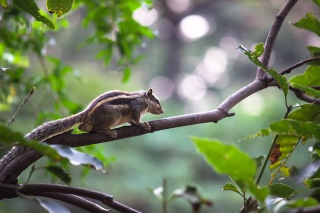 Eekhoorn of knaagdier of ook bekend als chipmunk op de boomstam
