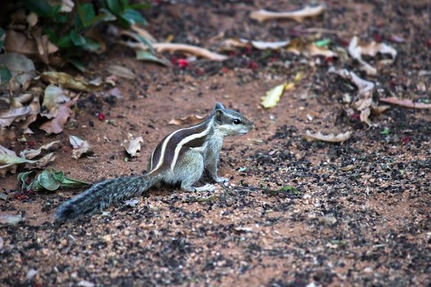 Eekhoorn of knaagdier of ook bekend als chipmunk op de grond, kijkend gepauzeerd en nieuwsgierig