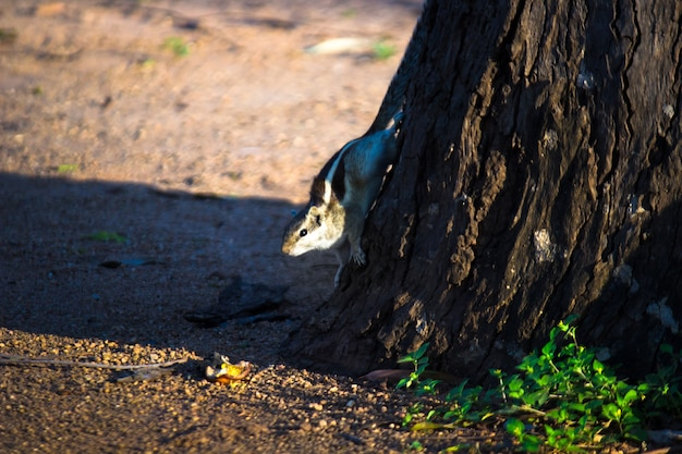 Eekhoorn of knaagdier of ook bekend als chipmunk, op de grond
