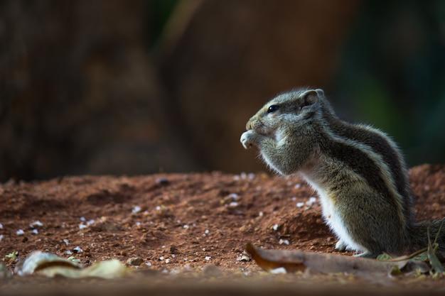 Eekhoorn of knaagdier of ook wel bekend als chipmunk die op de grond staat gepauzeerd Premium Foto
